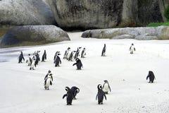 Pinguini africani alla spiaggia Immagini Stock