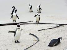 Pinguini africani alla spiaggia Fotografia Stock Libera da Diritti