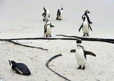Pinguini africani alla spiaggia Fotografia Stock