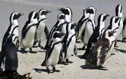 Pinguini africani alla spiaggia dei massi immagine stock