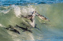 Pinguini africani che nuotano nell'onda di oceano fotografie stock libere da diritti