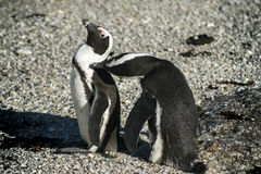 Pinguini africani che si governano Immagini Stock Libere da Diritti