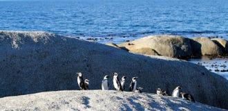 Pinguini africani del pinguino (demersus dello Spheniscus), la Provincia del Capo Occidentale, Sudafrica Fotografie Stock Libere da Diritti