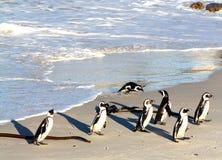 Pinguini africani (demersus dello Spheniscus) che ritornano dalla caccia, la Provincia del Capo Occidentale, Sudafrica Fotografia Stock Libera da Diritti