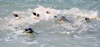 Pinguini africani di nuoto Immagine Stock