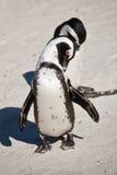 Pinguini africani, massi parco, Sudafrica fotografia stock libera da diritti