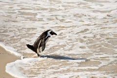 Pinguini africani, massi parco, Sudafrica fotografia stock