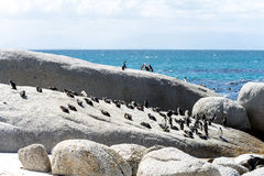 Pinguini africani in Simons Town, Sudafrica Fotografia Stock