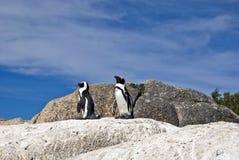 Pinguini africani sulla roccia Immagine Stock