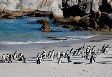 Pinguini africani sulla spiaggia Immagini Stock Libere da Diritti