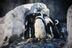 Pinguini all'acquario mistico in Connecticut mistico immagine stock libera da diritti