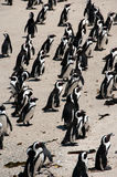 Pinguini alla spiaggia dei massi Immagini Stock