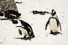 Pinguini alla spiaggia dei massi, Sudafrica fotografia stock