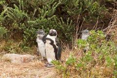 Pinguini alla spiaggia dell'Oceano Atlantico nel Sudafrica Fotografia Stock