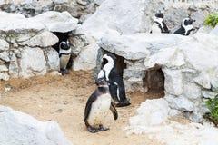 Pinguini allo zoo Immagini Stock