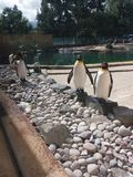 Pinguini allo zoo di Edimburgo immagine stock