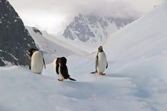 Pinguini antartici di Gentoo Fotografie Stock Libere da Diritti