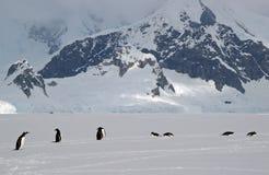 Pinguini antartici di Gentoo Fotografia Stock
