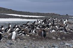 Pinguini in Antartide Immagine Stock Libera da Diritti