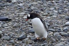Pinguini in Antartide Fotografie Stock Libere da Diritti