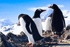 Pinguini in Antartide Immagini Stock Libere da Diritti