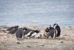 Pinguini arrabbiati Fotografia Stock Libera da Diritti
