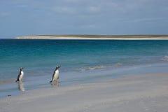 Pinguini che emergono dal mare Immagine Stock