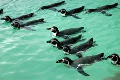 Pinguini che nuotano Fotografie Stock
