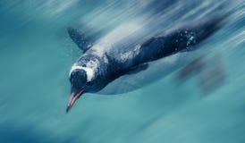 Pinguini che nuotano fotografia stock libera da diritti