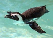 Pinguini che nuotano Fotografia Stock