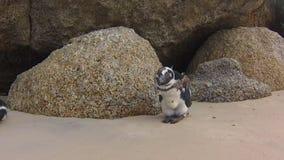 Pinguini dei giovani della spiaggia di Boulder stock footage
