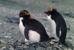 Pinguini dei maccheroni Fotografia Stock Libera da Diritti