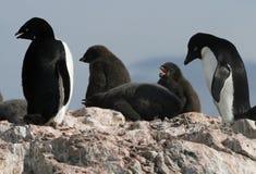 Pinguini del Adelie Immagine Stock