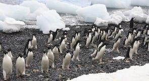 Pinguini del Adelie - Antartide Fotografia Stock Libera da Diritti