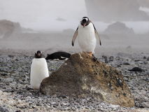 Pinguini del Adelie in Antartide Fotografie Stock Libere da Diritti