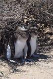 Pinguini del bambino di Magellan Fotografie Stock Libere da Diritti