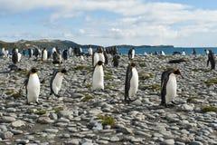 Pinguini del re alla spiaggia di Geogia del sud Fotografia Stock
