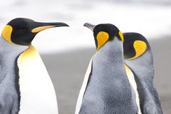 Pinguini del re alla spiaggia di Geogia del sud Fotografie Stock