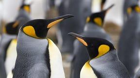 Pinguini del re (patagonicus del Aptenodytes) Fotografia Stock