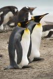 Pinguini del re (patagonicus del Aptenodytes) Fotografia Stock Libera da Diritti