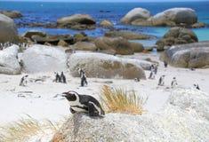 Pinguini del Sudafrica Fotografie Stock Libere da Diritti