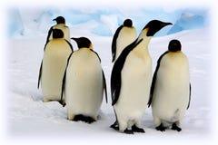 Pinguini dell'imperatore Immagine Stock