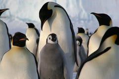 Pinguini dell'imperatore con il pulcino Immagini Stock Libere da Diritti