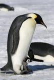Pinguini dell'imperatore (forsteri del Aptenodytes) Immagini Stock
