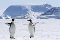Pinguini dell'imperatore (forsteri del Aptenodytes) Fotografie Stock