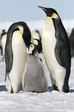 Pinguini dell'imperatore (forsteri del Aptenodytes) Immagine Stock
