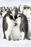 Pinguini dell'imperatore (forsteri del Aptenodytes) Fotografie Stock Libere da Diritti