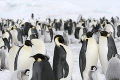 Pinguini dell'imperatore (forsteri del Aptenodytes) Fotografia Stock