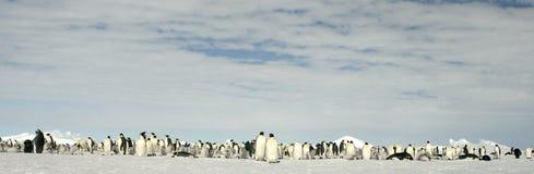 Pinguini dell'imperatore (forsteri del Aptenodytes) Fotografia Stock Libera da Diritti