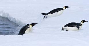Pinguini dell'imperatore (forsteri del Aptenodytes) Immagini Stock Libere da Diritti